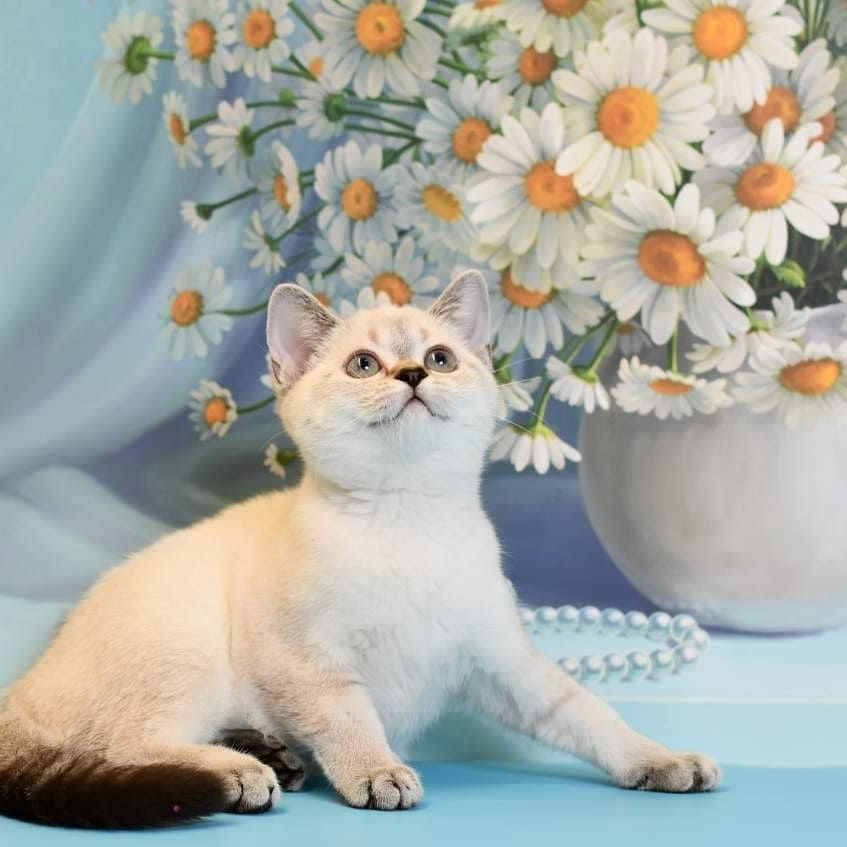 For Sale Naomi Scottish Straight Ns 2533 Female Born 30 04 2019 Vaccinated Shipping Worldwide Kittens Kittylovers Kitten For Sale Cats For Sale Kittens