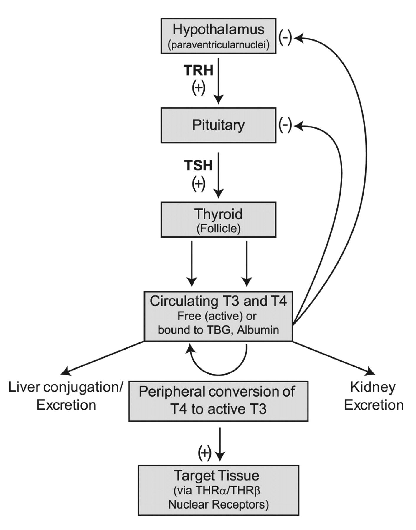 hight resolution of thyroid releasing hormone trh is synthesized and stored in the paraventricular nuclei in the hypothalamus trh stimulates cells in the anterior pituitary