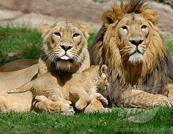 Image result for family of lions
