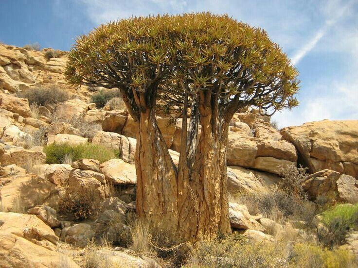Aloe dicotima Keimoes northern Cape (With images
