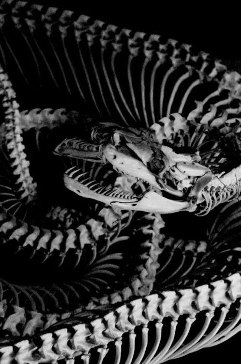 Snake skeleton. | hunter | Pinterest | Serpientes, Anatomía animal y ...