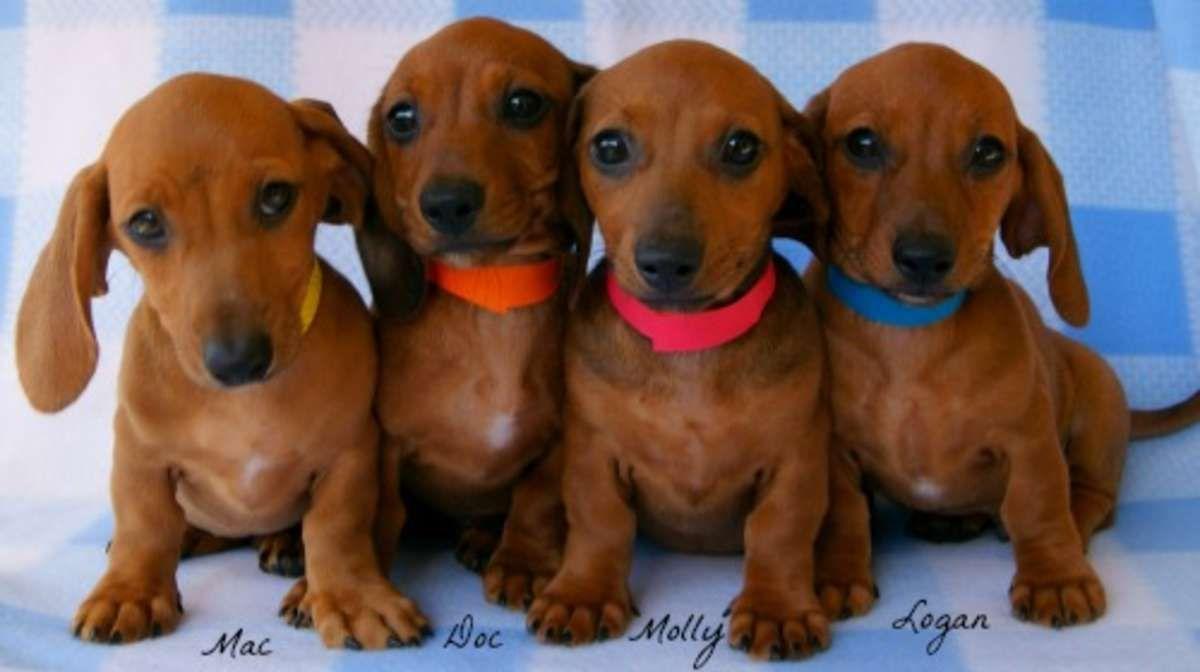 Red Weiner Dogs Red Mini Dachshund Puppies Miniature Dachshund