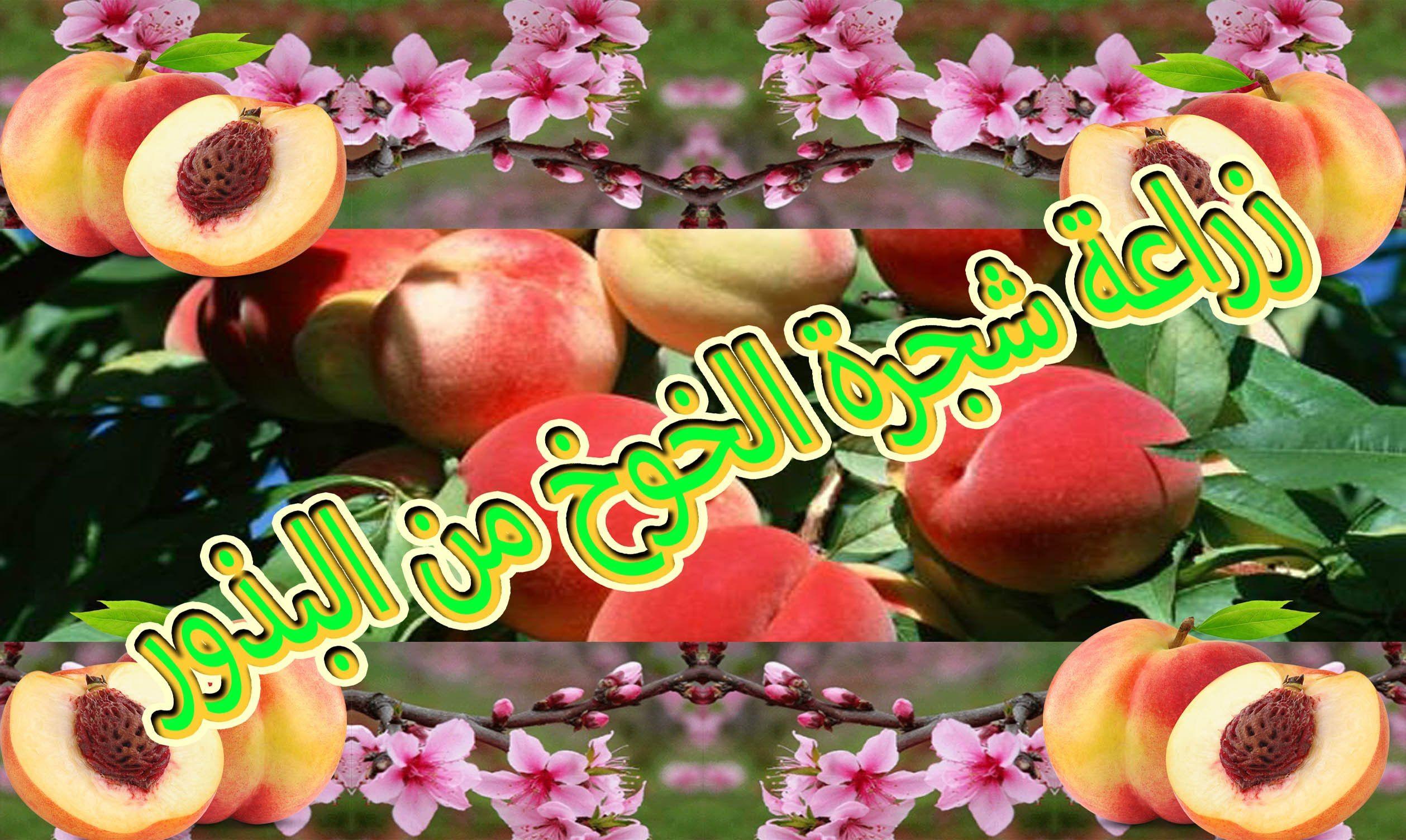 زراعة الخوخ الدراق حب الملوك الكرز المشمش البرقوق من البذرة ف Fruit Apple Projects