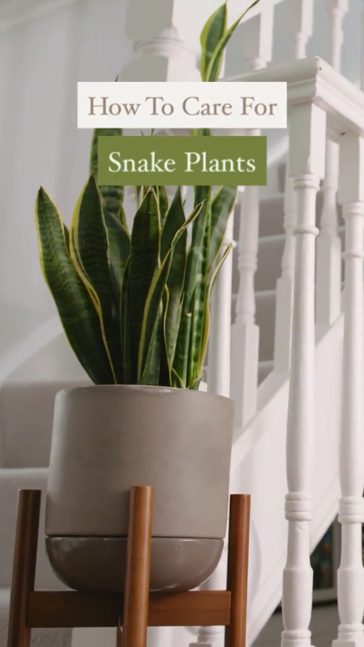Photo of How to Care For Snake Plants