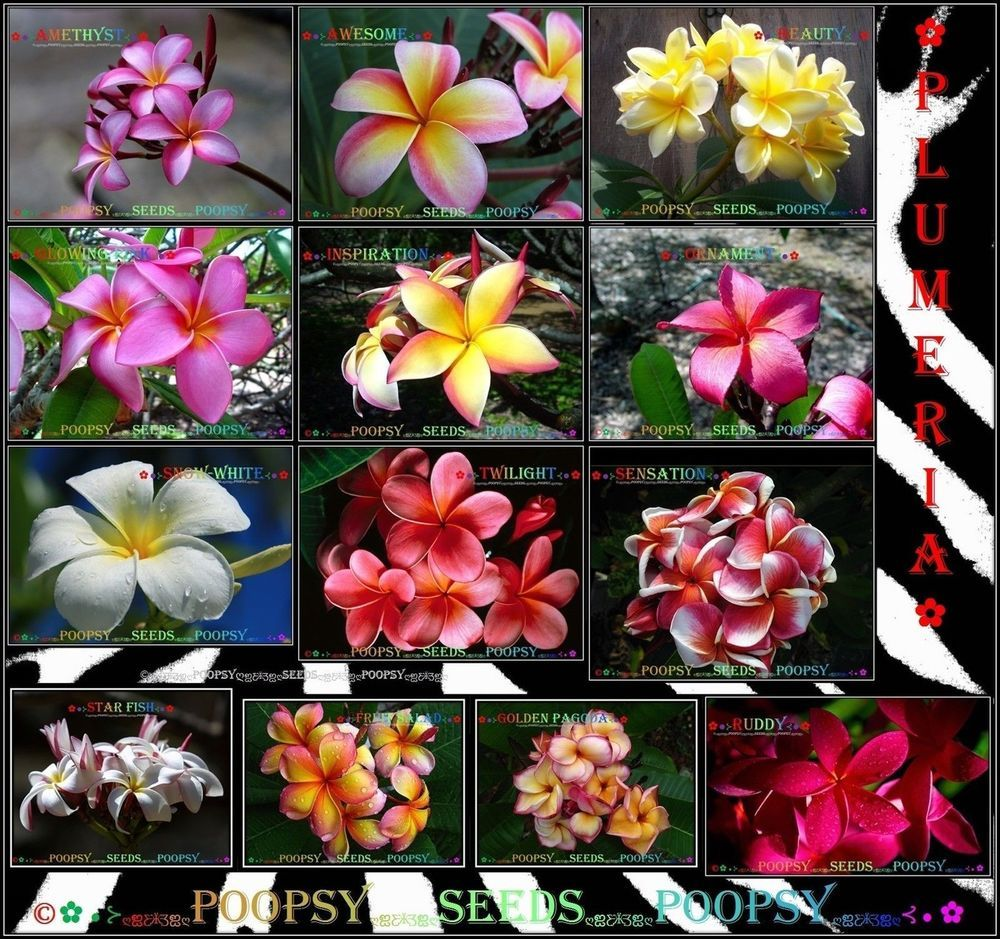 Plumeria Frangipani Hybrid Indoor House Plant 5 Seeds Each Ƹ Ӝ Ʒ 1