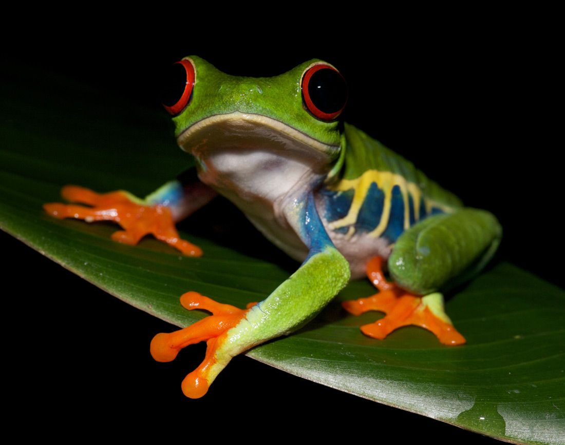 24 best Frogs images on Pinterest | Frogs, Amphibians and Lizards