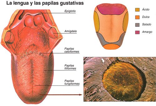 Resultado de imagen para papilas gustativas anatomia