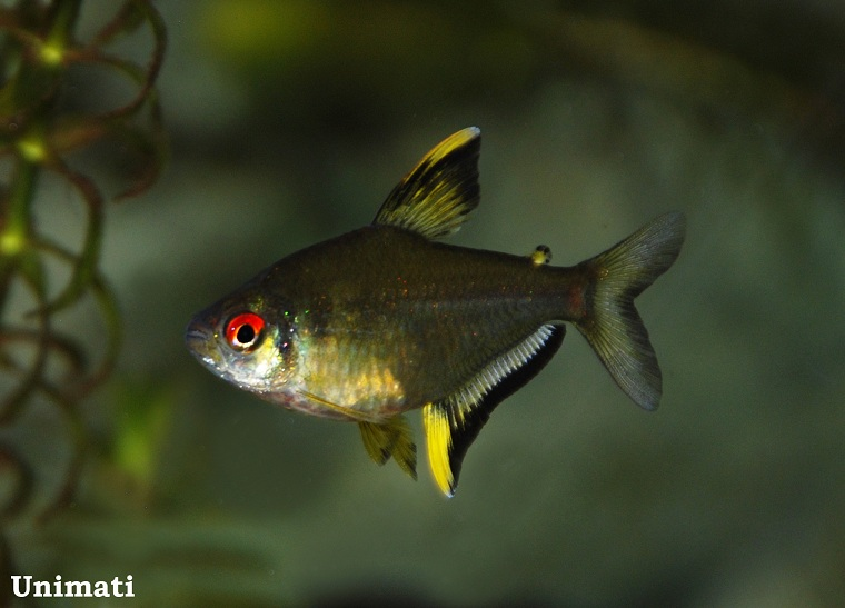 Lemon Tetra Hyphessobrycon Pulchripinnis Aquarium Fish Tropical Fish Tanks Tetra Fish