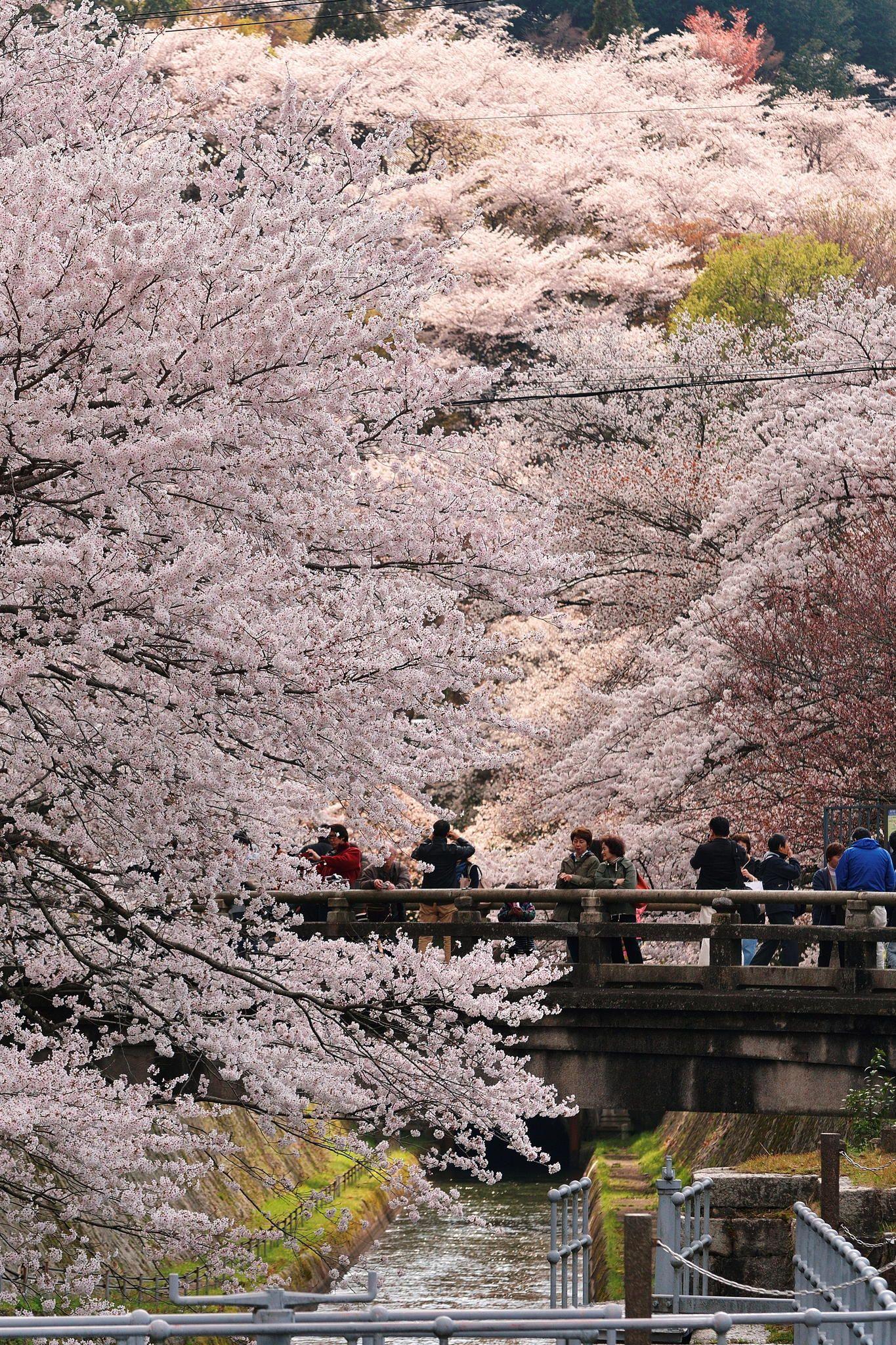 Cherry Blossoms Cherry Blossom Japan Spring Scenery Japan Garden