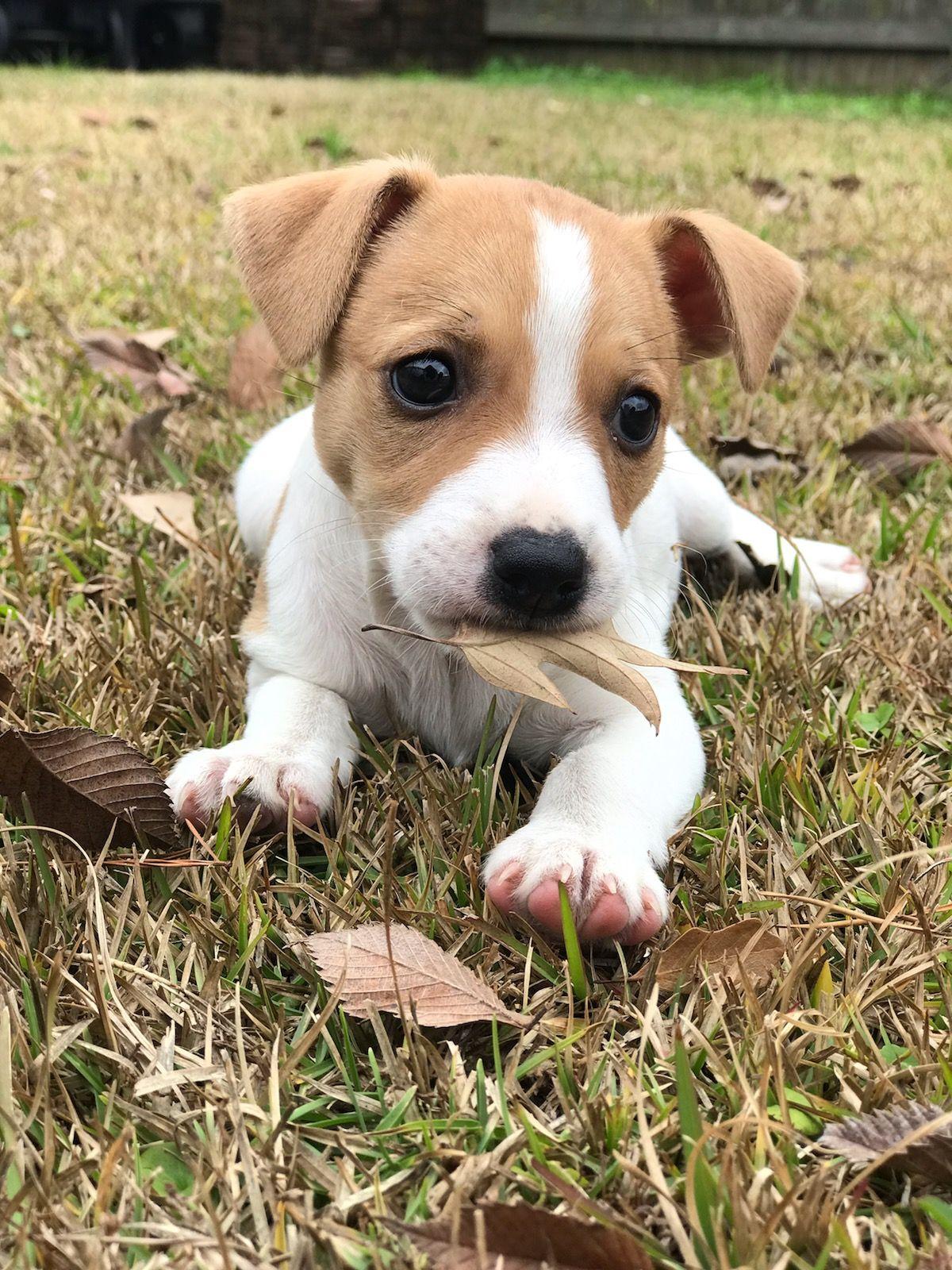 Jack Russell Puppies Jack Russell Puppies Jack Russell