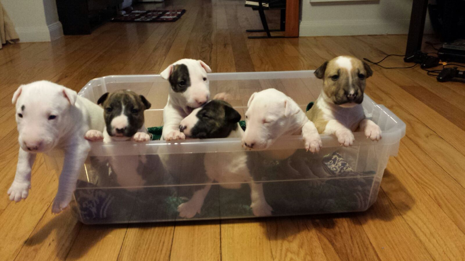 Our puppies chillen in the baby bucket :) .... Check out our posting on next day pets. Com :) they're for sale and will be ready to go by the end of this month !