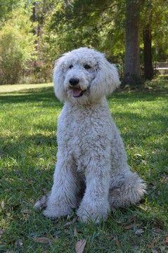 Poodle Standard Puppy For Sale In Live Oak Fl Adn 41500 On