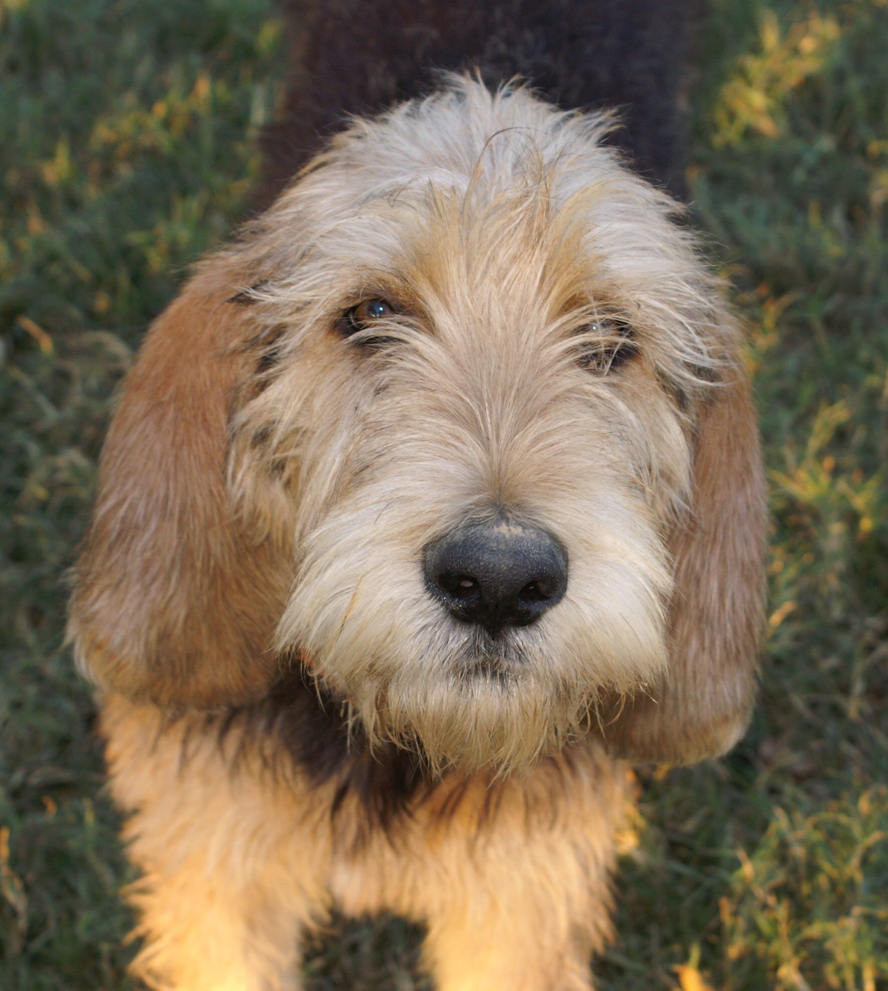 Otterhound Otterhound Dogs Dog Love