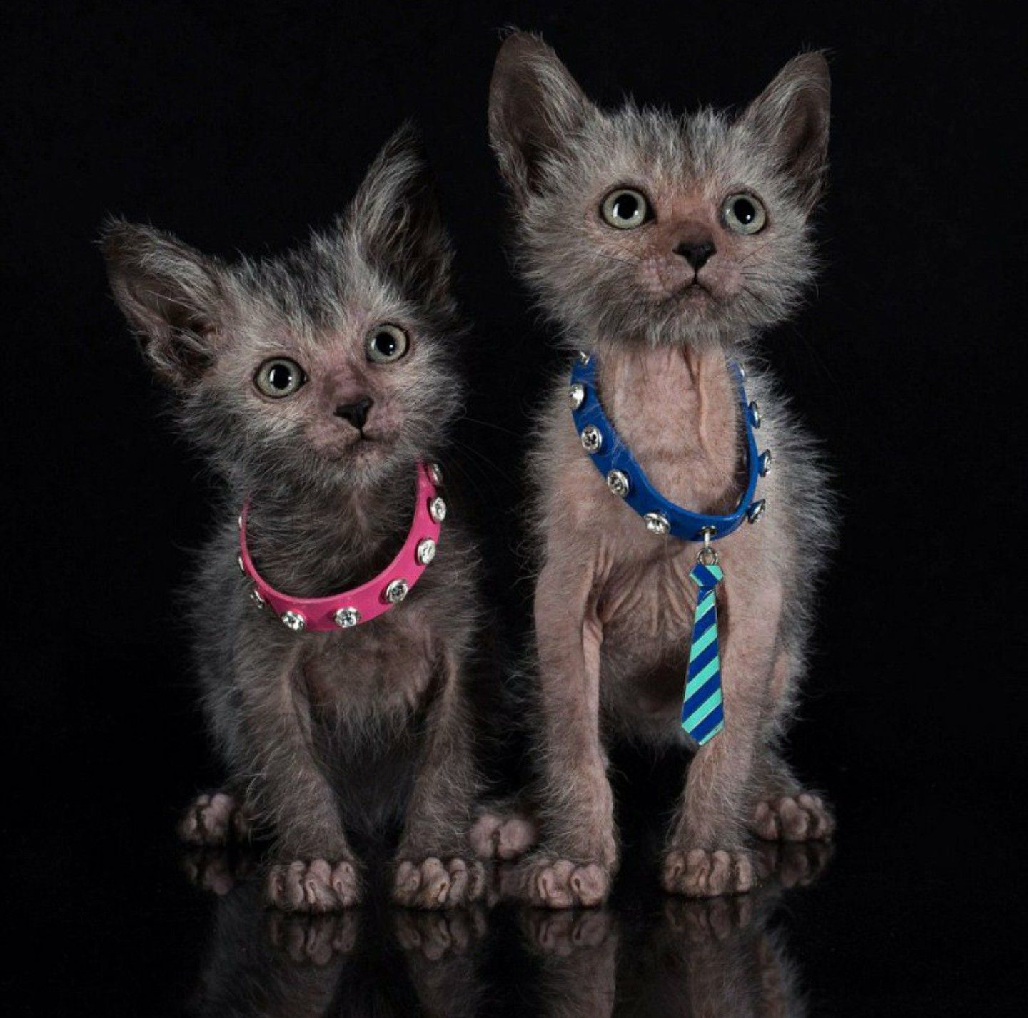 werewolf kitties | lykoi kitties | =^.^= I❤cats | Pinterest | Cat