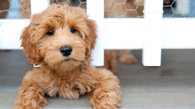 15 Dog Breeds That Don't Shed Much (And Are Hypoallergenic