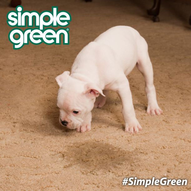 How to remove Pet stains and odors from carpet with # ...