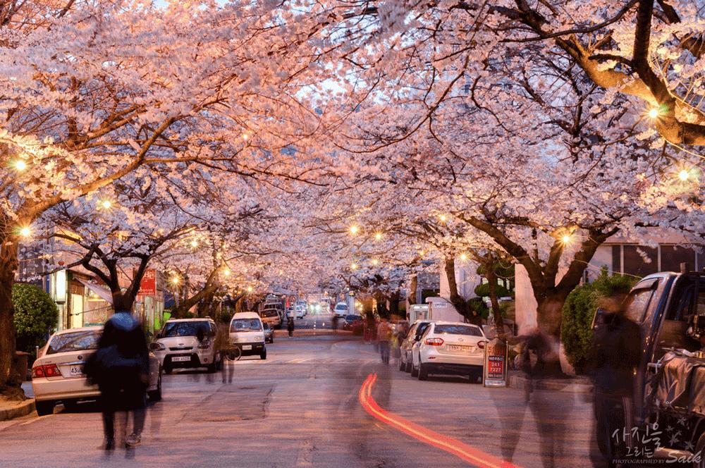 Korea Cherry Blossoms Busan Namcheondong Samik Apartment Night Cherry Blossom Korea Apartment Korea