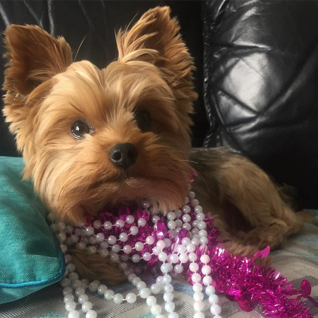 #Repost @gizmootheyorkie ・・・ Momma said I looked pretty in pearls as she decorated for Christmas! More photos to come  #34days #christmas #2016 #excited #pearls #puppy #yorkiesofinstagram #yorkie...