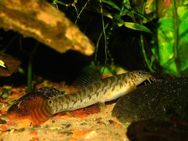 Acanthocobitis botia / roodstaart   Aquarium vissen database   gdaquarium