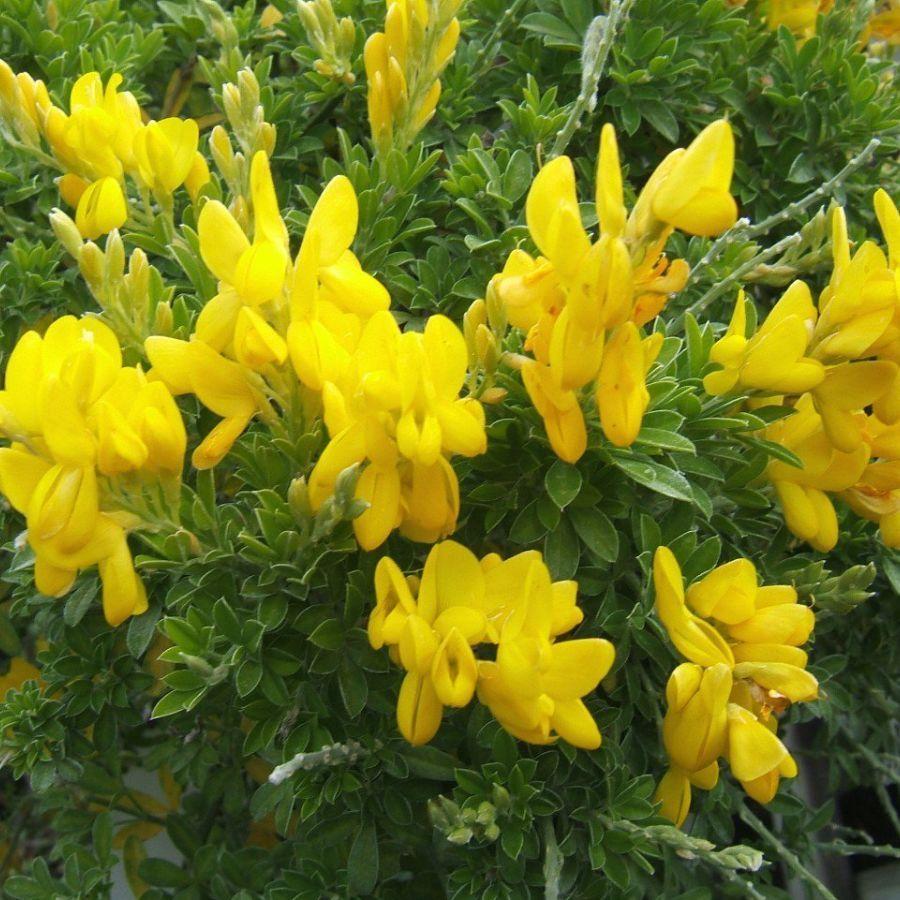 Cytisus Racemosus Broom Plant Record Plant Finder Broom Plant Fragrant Plant Plants