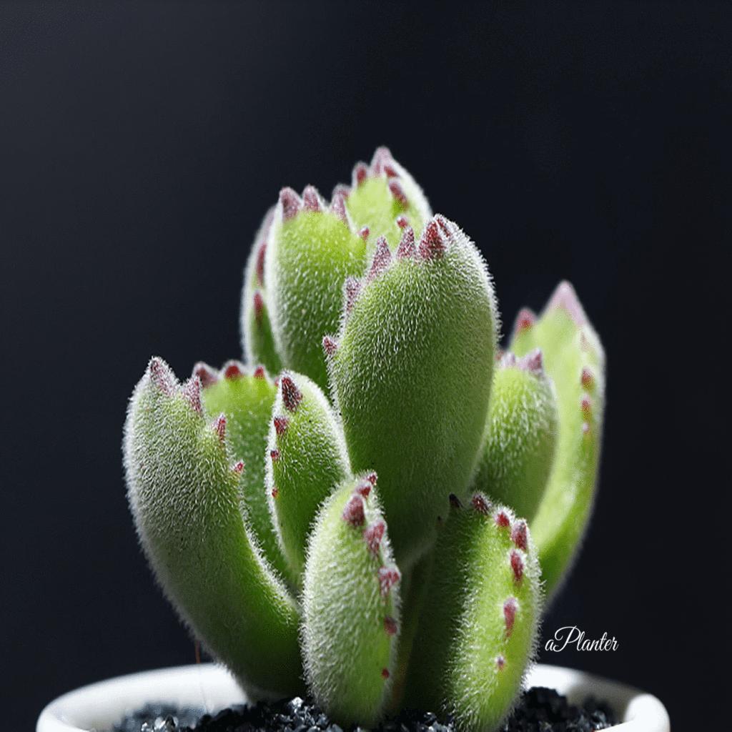 Best Succulent Houseplant Cotyledon Ladismithiensis