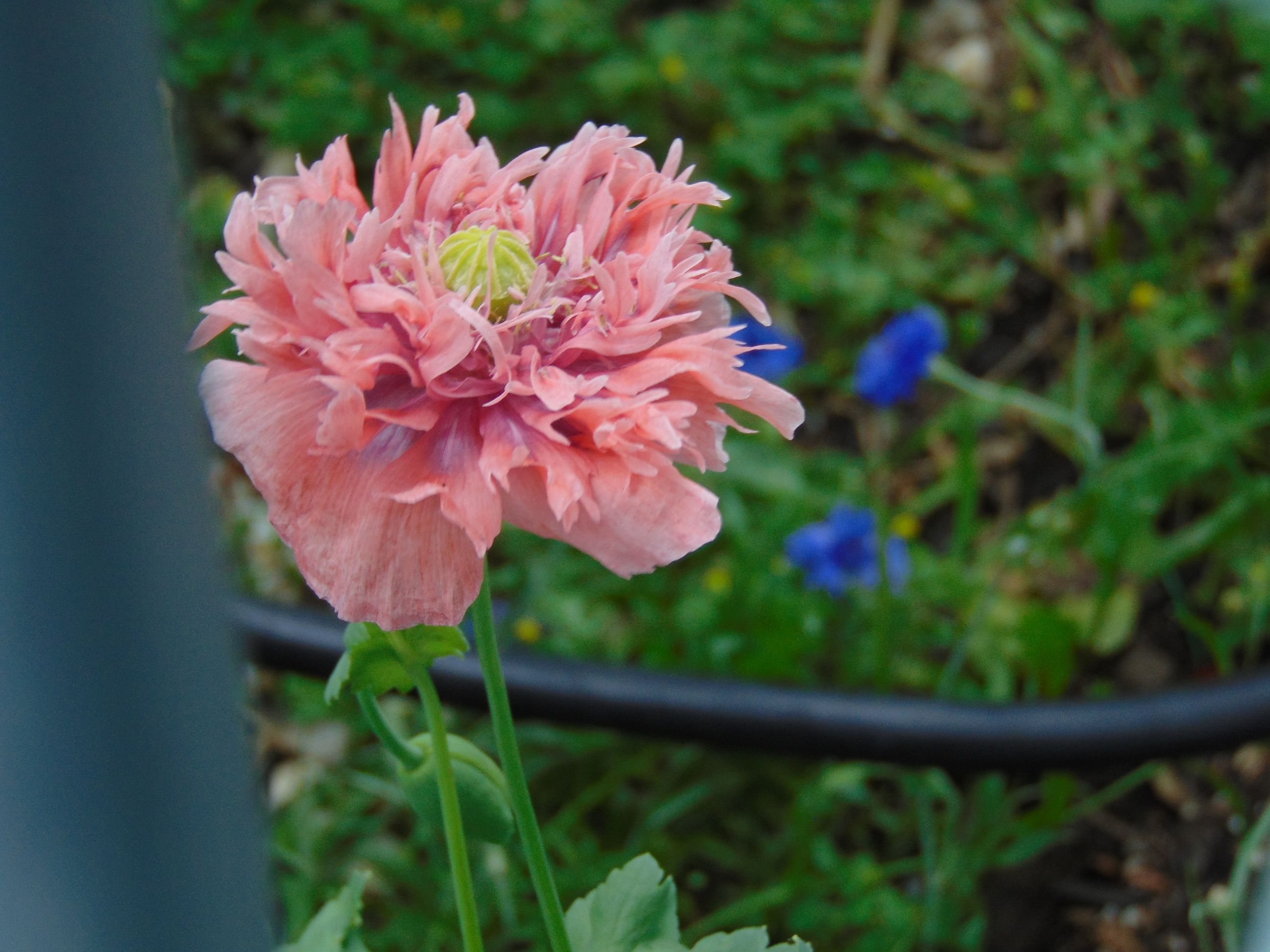 Pink Peony Poppies with Bachelor Buttons in the background. MS. Aug 2015