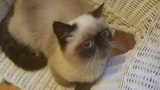 Pin On Exotic Kitten