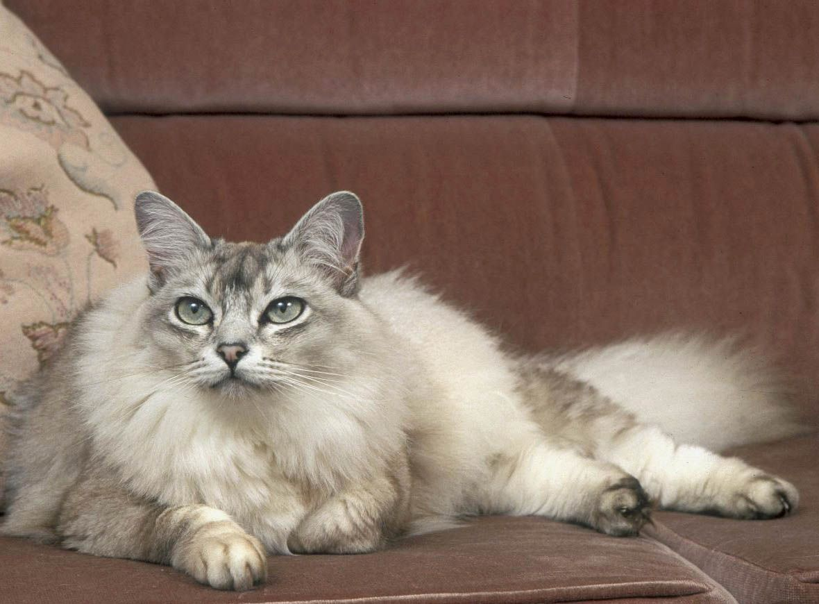 Asian Semi Longhair Wallpapers Hd Download Cat Breeds Long Haired Cats Russian Blue Cat