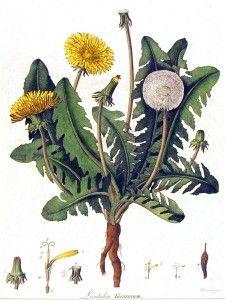 Botanical - Flower - Dandelion - engraving