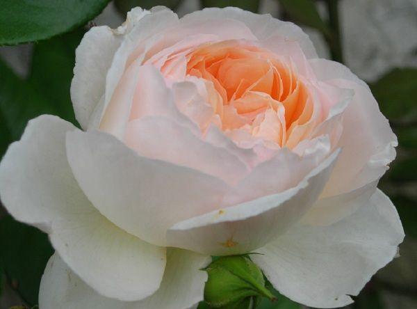 """"""" Michèle Morgan """" (DELsamros) - Floribunda rose - White, pink center - Light spice fragrance - Delbard (France), 1997"""