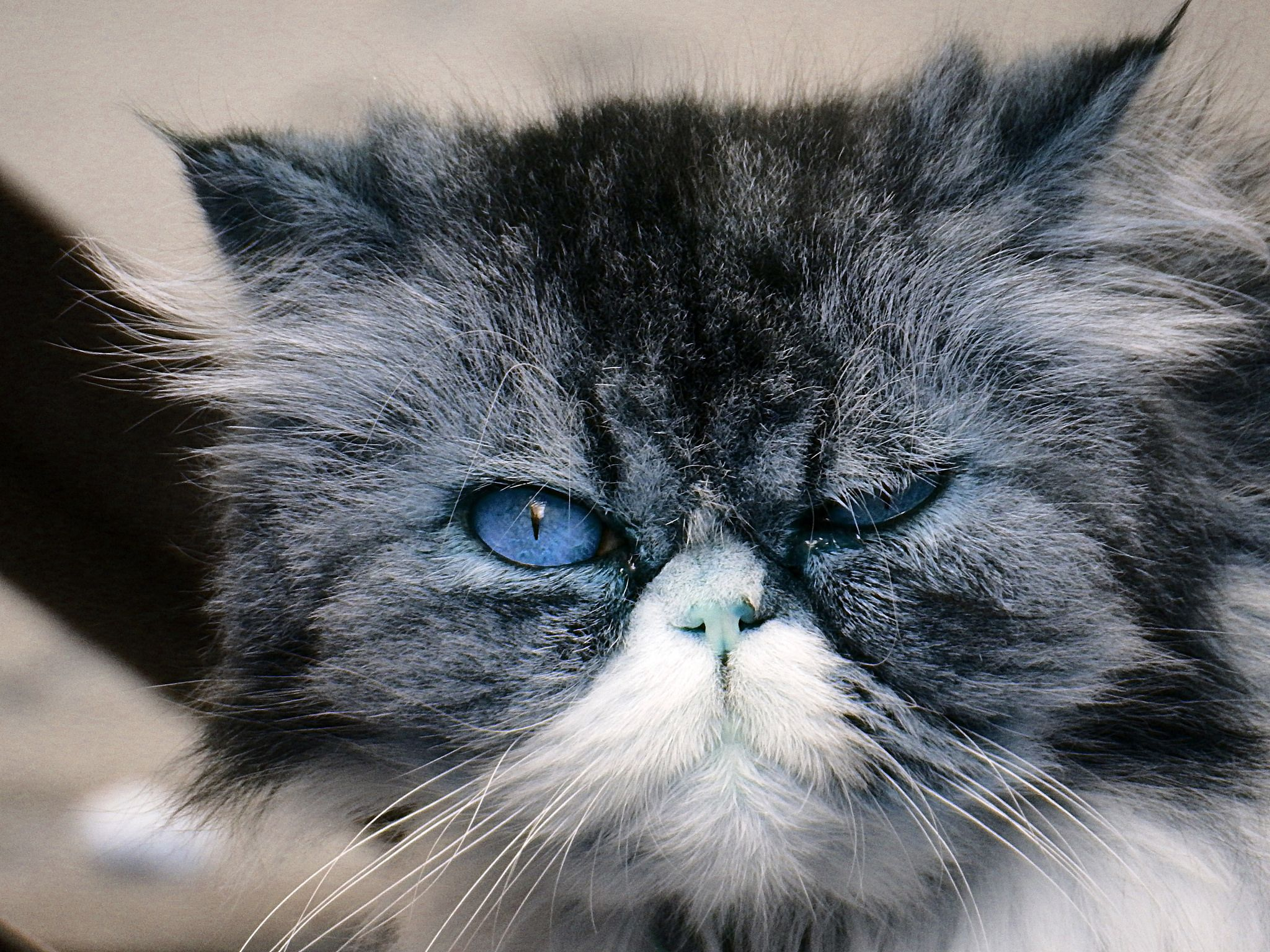 Malaga Blue Cat - umm, it's Monday?