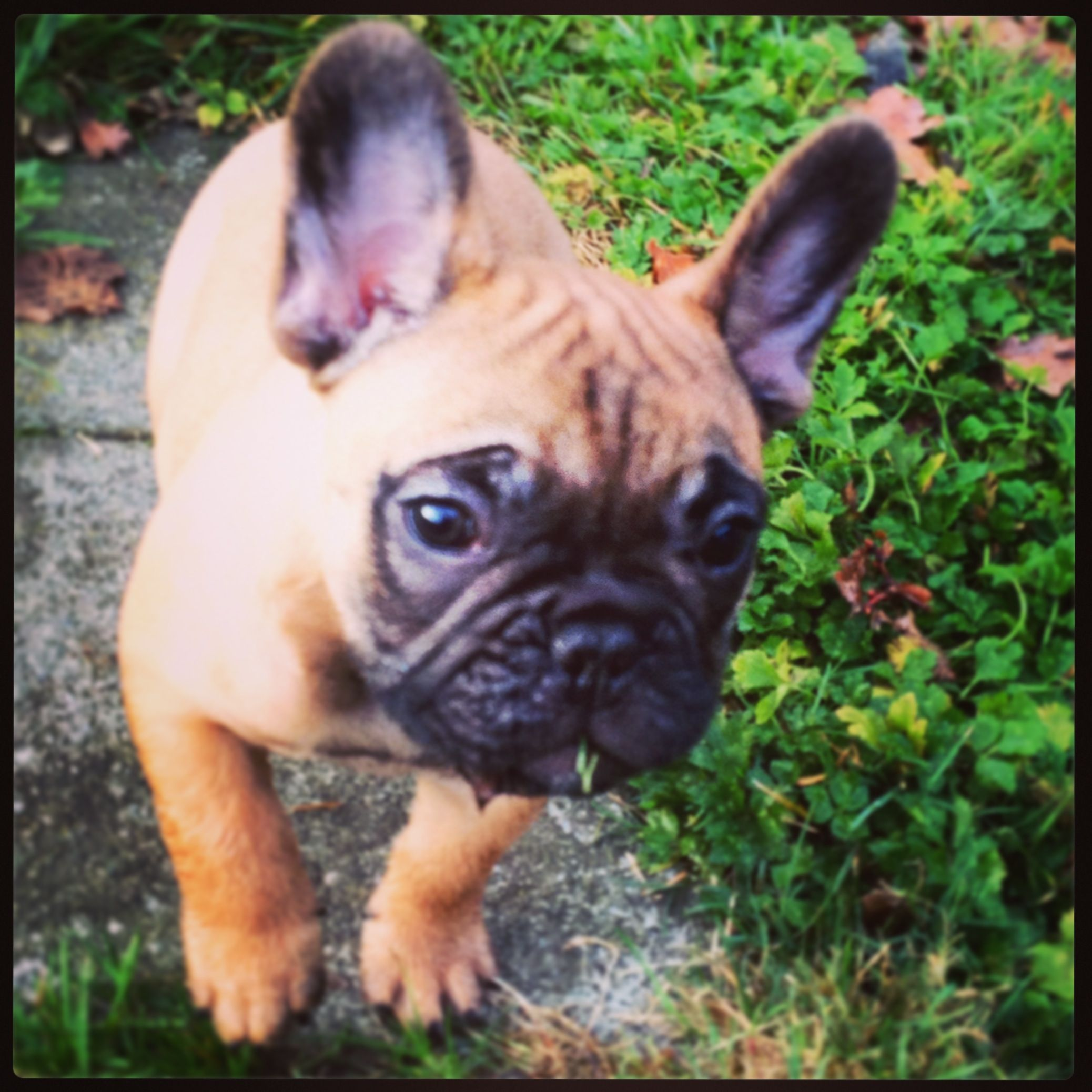 Kamille Is My Strong Healty Little French Bulldog With Images