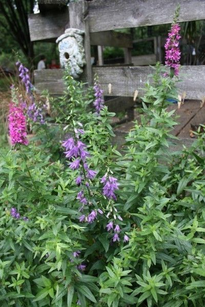 Butterfly Bush Has Brown Leaf Spots Fixes For Buddleia Leaves With Spots Butterfly Bush Buddleia Plant Plant Problems