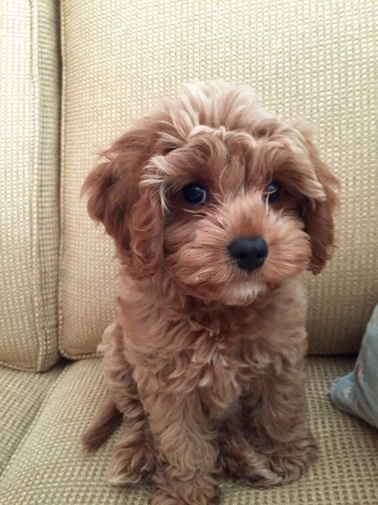 Cute Overload Reddit Meet Our New Puppy Scarlett Http Cute Overload Tumblr Com Source Http Imgur Com R Cute Baby Animals Puppies Poodle Mix