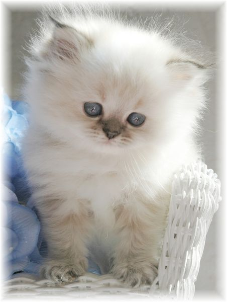 Blue Lynx Point Toy Himalayan Kitten. I would die for one of these kitties!