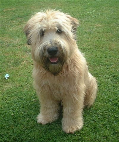 Wheaten Terrier This Looks Much Like Our Dog Govy The