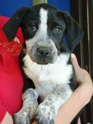 Hannah Border Collie German Short Haired Pointer Mix Our New