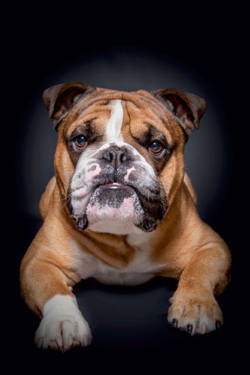Calvendo Leinwand Continental Bulldog Mo English Bulldog Bulldog Puppies Cute Dogs Breeds