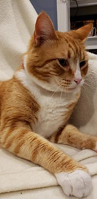 Chester Nj Domestic Shorthair Meet Abe A Pet For Adoption Pretty Cats Beautiful Cats Pictures