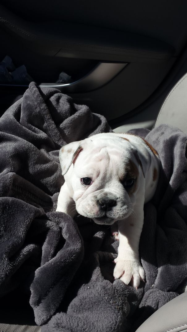 111 Beautiful Bulldog Puppies That Will Melt Your Heart Puppies