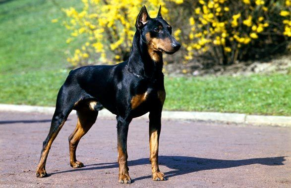 Solid Black Doberman Puppies