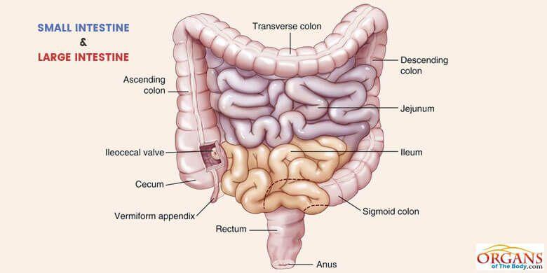 Small Vs Large Intestine Intestines Large Intestine Digestive System Anatomy