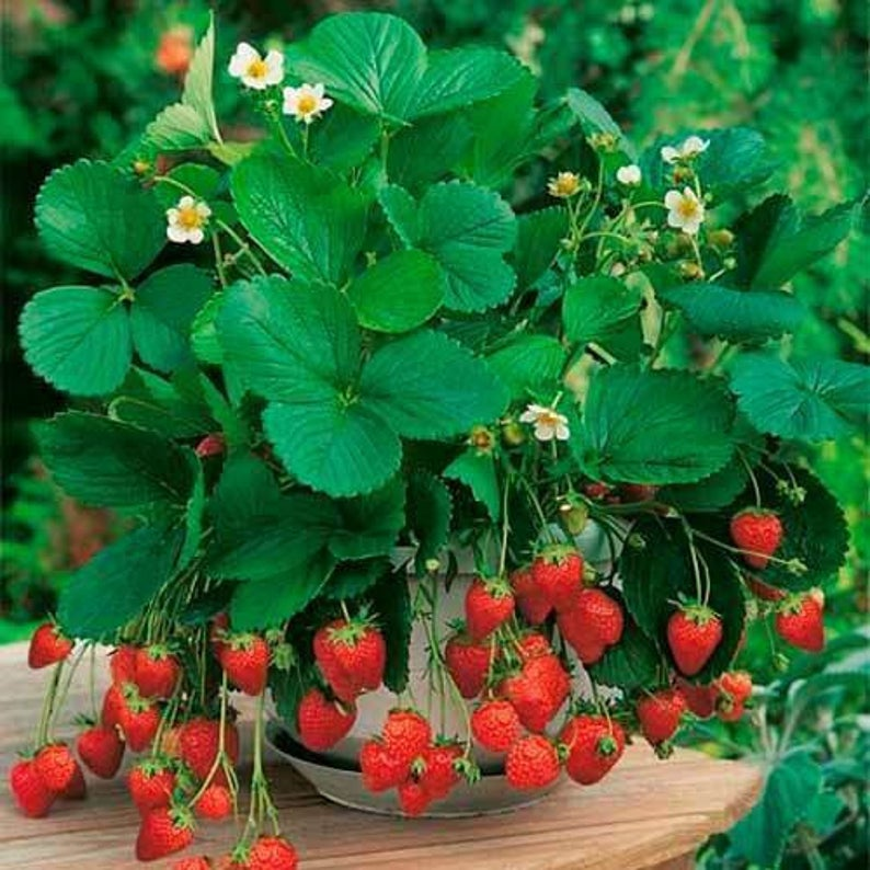 Rare Organic Natural Heirloom Wild Strawberries Seeds Etsy In 2021 Strawberry Plants Strawberry Seed Organic Seeds