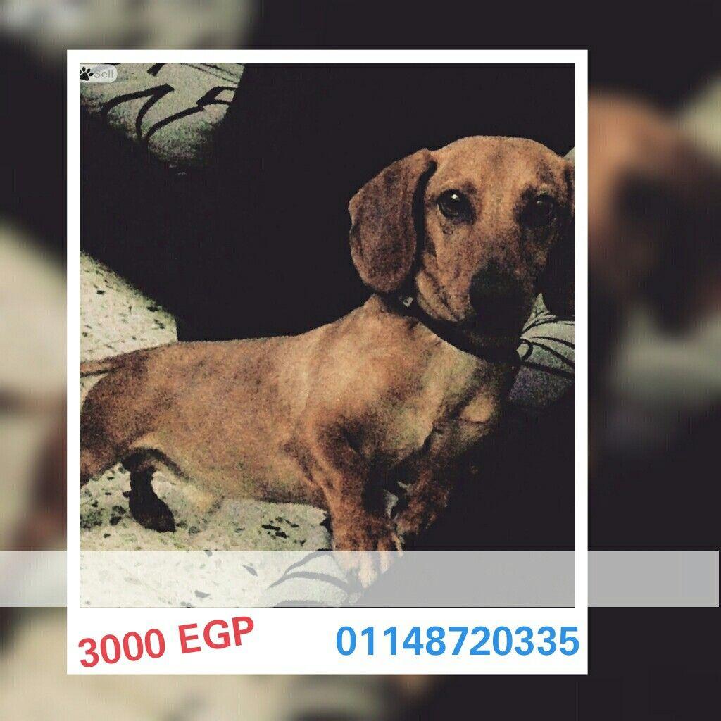 مصر القاهرة ذكر دوتش هاوند ٩ شهور بيور Pet4sell Dogs Animals