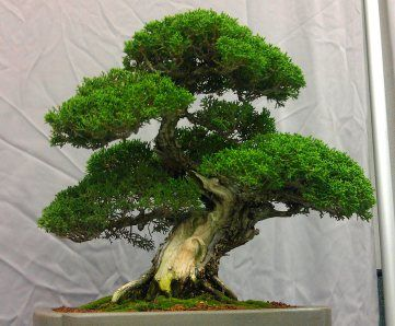 Bonsai Style Inspiration Ficus Macrophylla Moreton Bay Fig And Developing Root Flare Bonsai Styles Bonsai Ficus