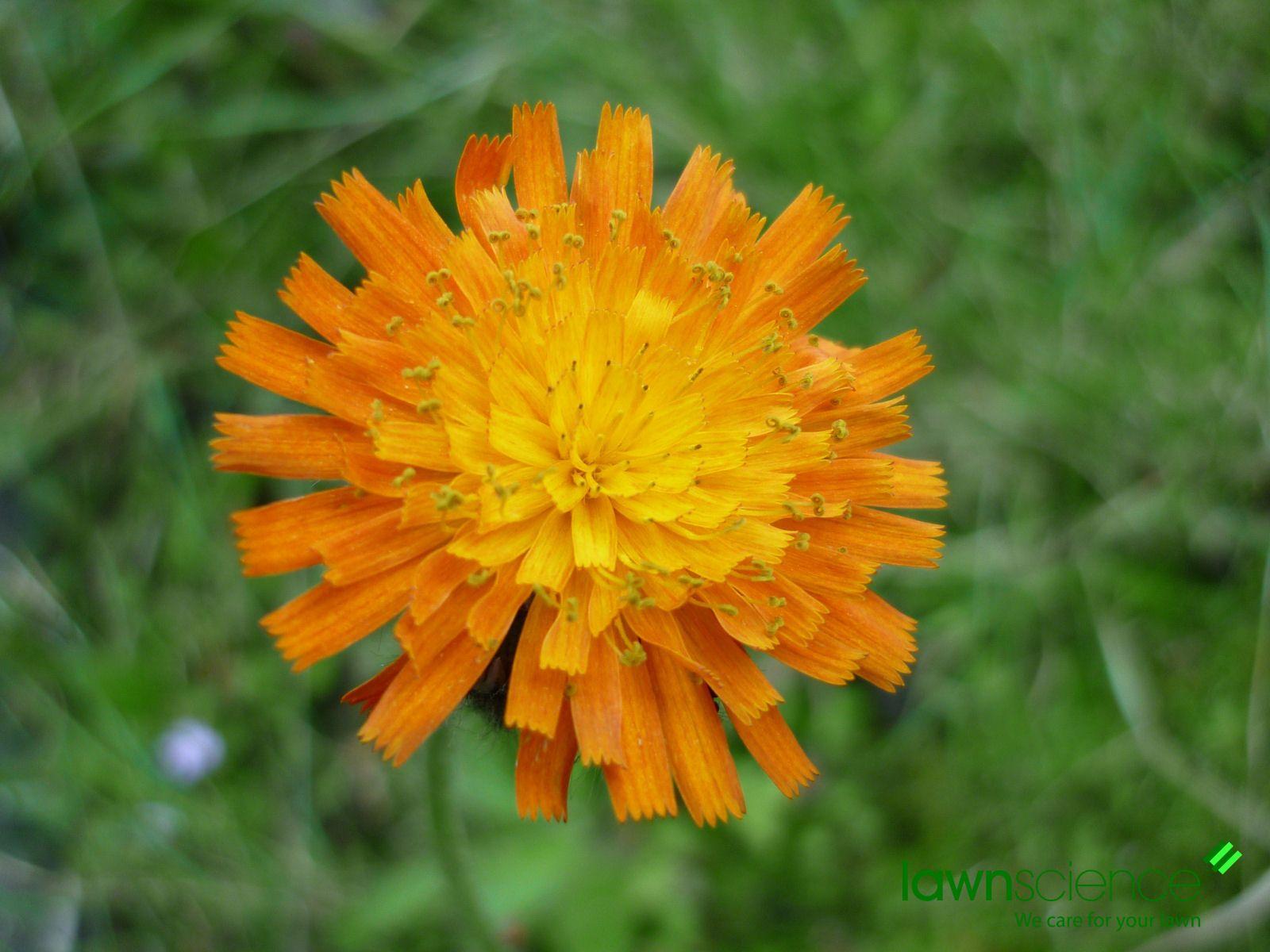 Orange hawkweed flower weeds in lawn language of