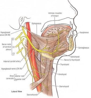Tongue Muscles And Nerve Roots Anatomy Physiology Speech In 2018
