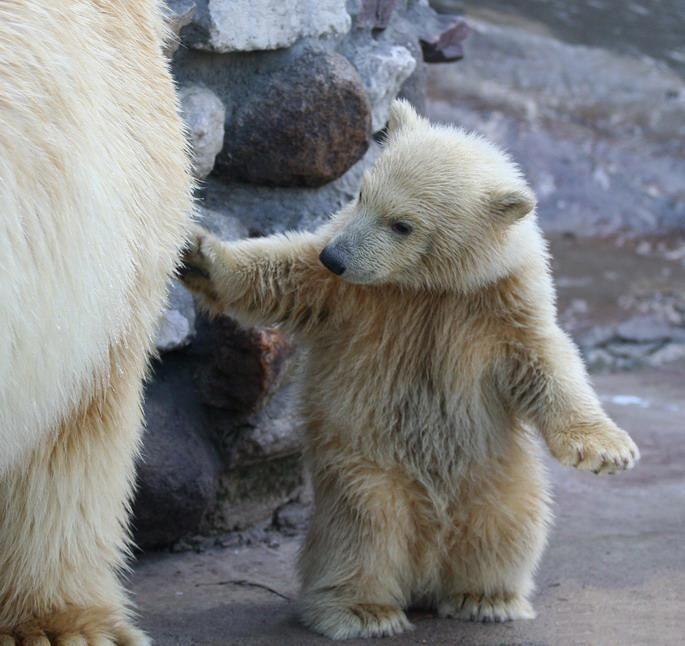 Pin De Anita Jann Em Polar Bears Com Imagens Urso Polar
