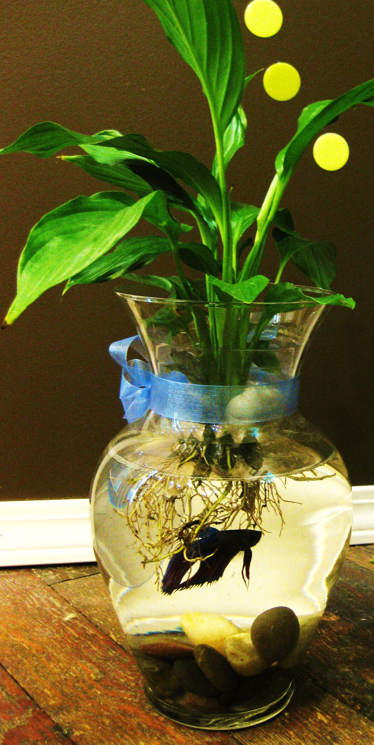 Fighting fish bowls with peace lily or lucky bamboo for Growing plants with fish