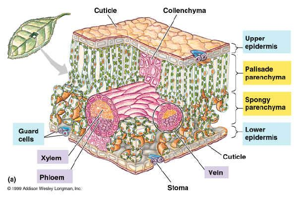 Photosynthesis Leaf And Pigments Leaf Structure Photosynthesis Cell Structure